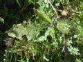 Stramonio (Datura Stramonium) foglia e baccelli