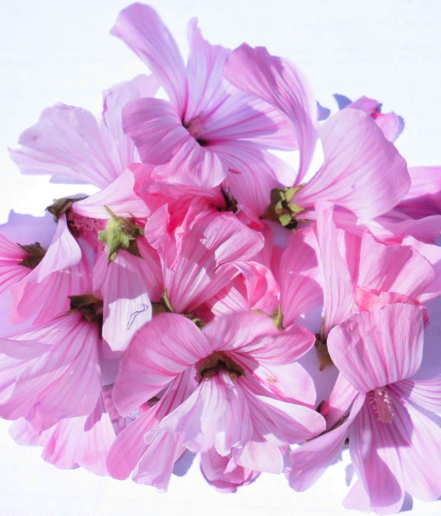 malvone fiore fresco