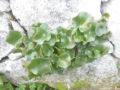 Ombelico di Venere (Umbilicus Rupestris)