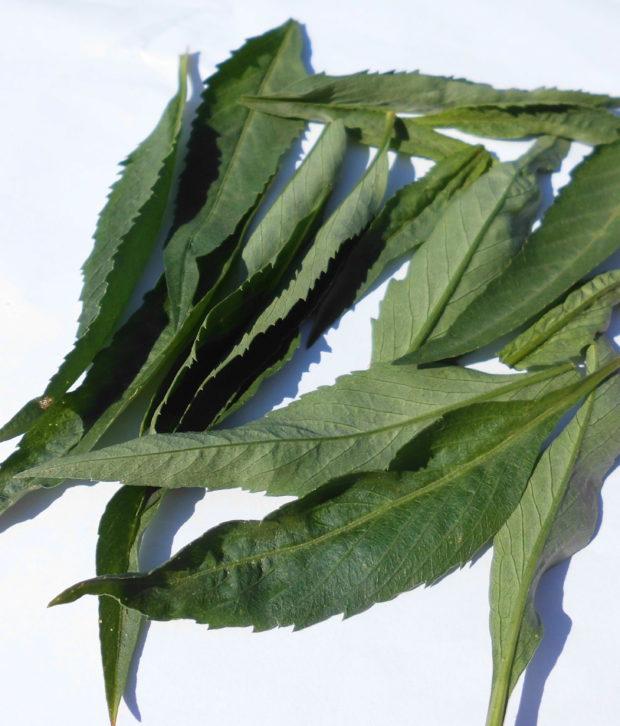 Tè (Cammelia Sinensis) fresco