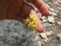 Elicrisio (Helichrysum italicum) infiorescenza