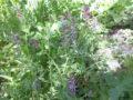 Fumaria (Fumaria Officinalis) pianta