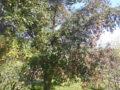 Syzygium albero adulto