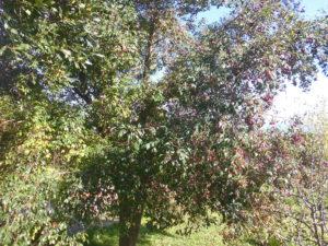 Bacche di ciliegio magenta
