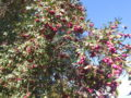 Syzygium rami carichi