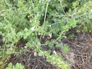 La mentuccia, un aromatica spontanea molto interessante