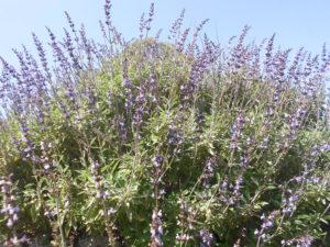 Salvia comune (Salvia officinalis)