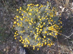 La santolina, un aromatica mediterranea poco conosciuta